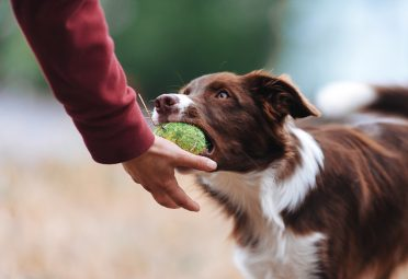 red and white Border Collie playing fetch with its owner , returning the ball