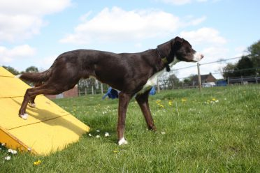a red and white smooth coated Border Collie on an agility course