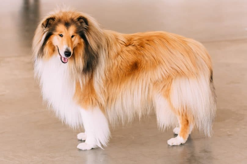 Full-body picture of a red rough Collie dog