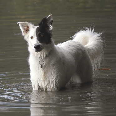 A white Border Collie mix in the water