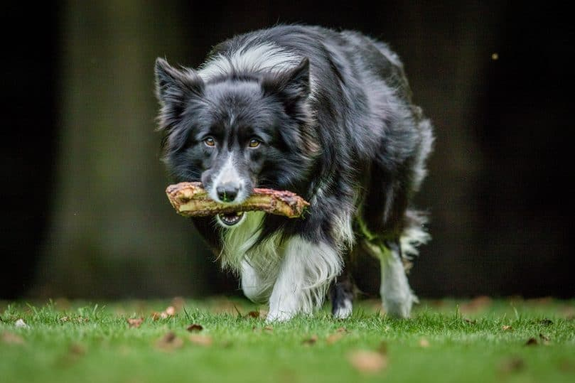 A black and white Border Collie adult carrying a meaty bone as his dog food
