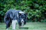 What is the best dog food for feeding Border Collies?