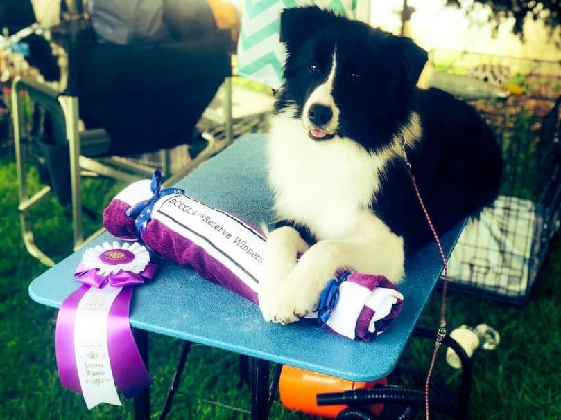 A Border Collie on a grooming table after getting an award on a dog show