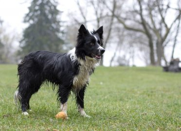 Borders are active dogs that would need to be groomed whenever they get dirty
