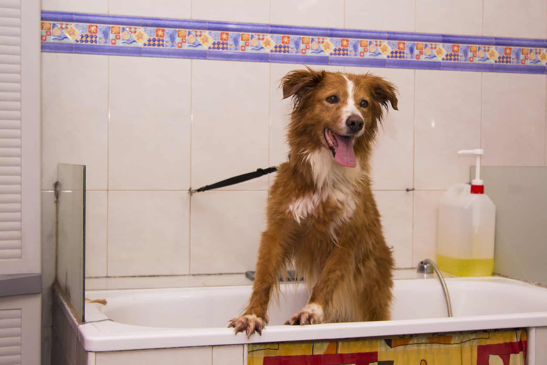 Border Collie at a groomer's bath tub